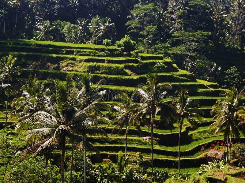 巴厘岛,印度尼西亚-米大阳台和棕榈树,在Ubud附近镇位于巴厘岛,印度尼西亚 免版税库存照片