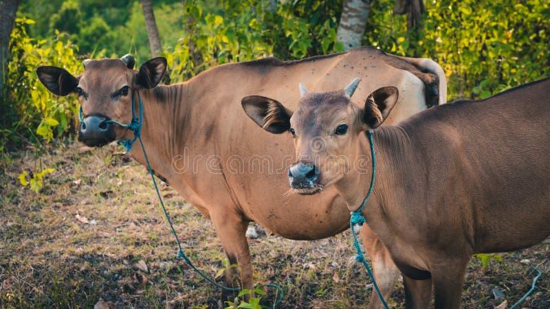 巴厘语家养的牛,努沙Penida,巴厘岛,印度尼西亚 免版税库存图片