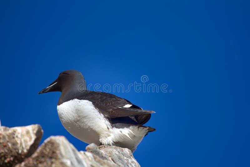 厚实开帐单的海雀科的鸟(尿lomvia) 免版税库存图片