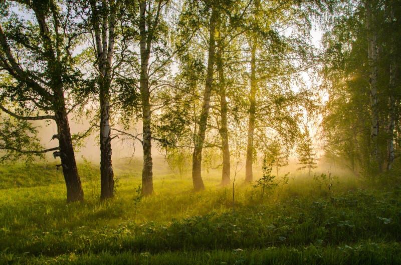 厚实的早晨雾在夏天森林里 库存图片