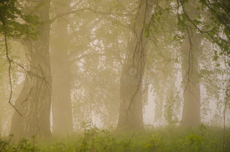厚实的早晨雾在夏天森林里 免版税库存照片