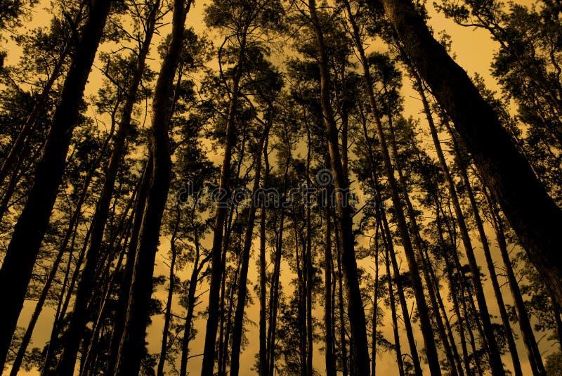 厚实的杉木森林 图库摄影