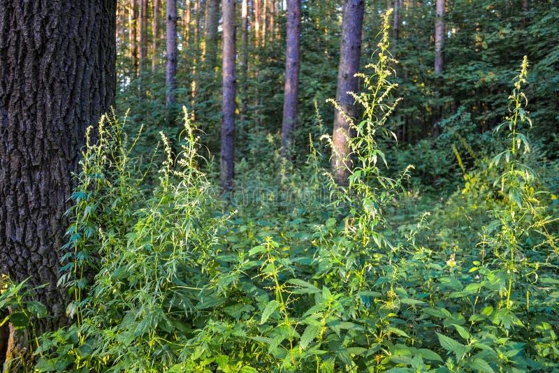 厚实的狂放的落叶林难贯穿的丛林 夏天 俄国 免版税图库摄影