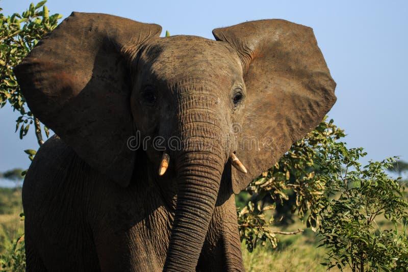 厚颜无耻的大象少年 库存照片