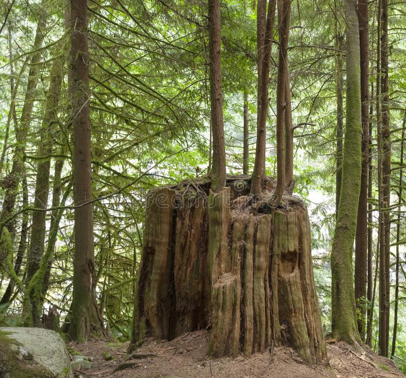 原始林树桩作为护士注册不列颠哥伦比亚省 免版税库存照片