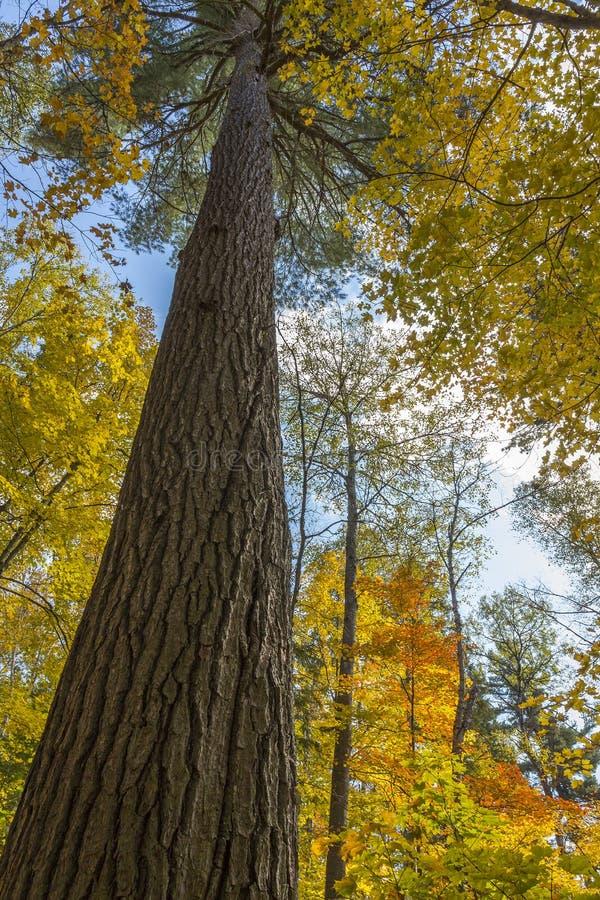 原始林生长在一个槭树森林里的美国五针松树在秋天- 库存图片