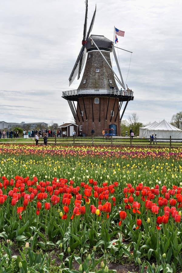 原始的荷兰风车在荷兰,郁金香节日时间的密执安 库存照片