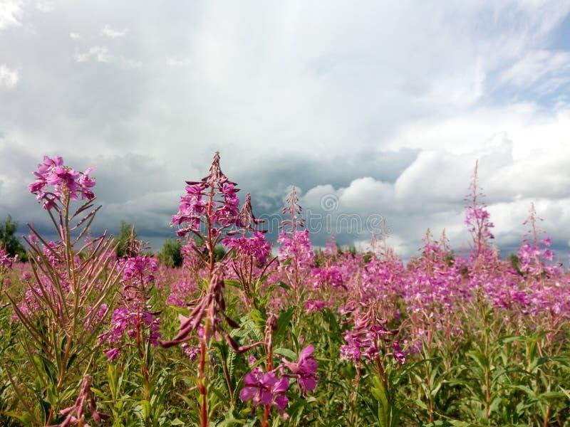 原野野花的桃红色开花的领域动乱的预兆天空和森林背景的  免版税库存照片