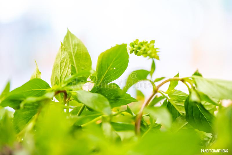 厨师新鲜的蓬蒿叶子为烹调泰国食物做准备 亚洲菜蓬蒿叶子 特写镜头厨师的蓬蒿叶子 绿色新鲜的蓬蒿 库存图片
