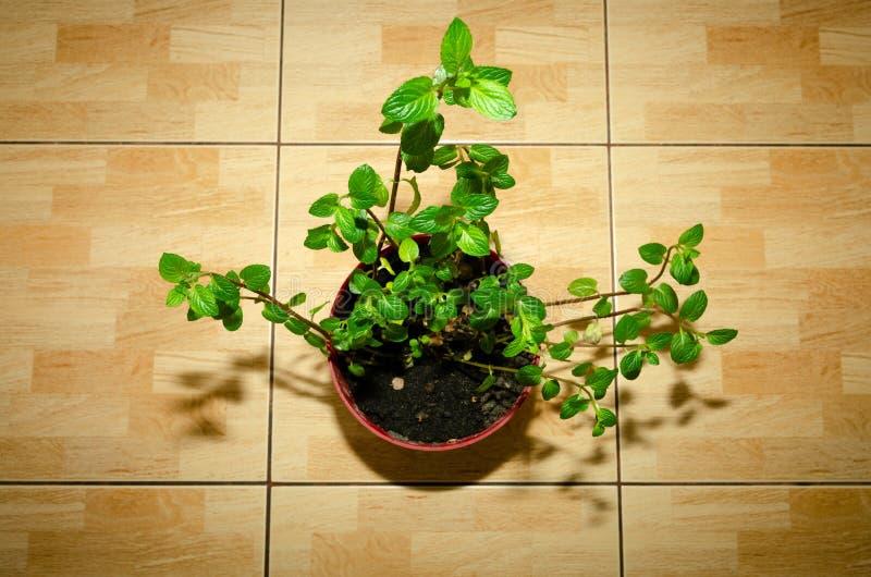 厨房柜台上的盆栽薄荷花 库存照片