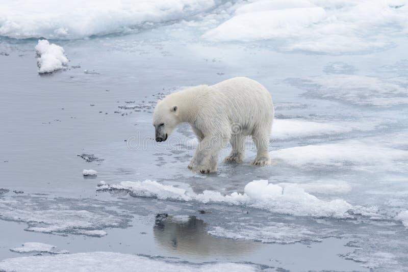 去在浮冰块的湿北极熊在北极海.梦见鳄鱼血图片