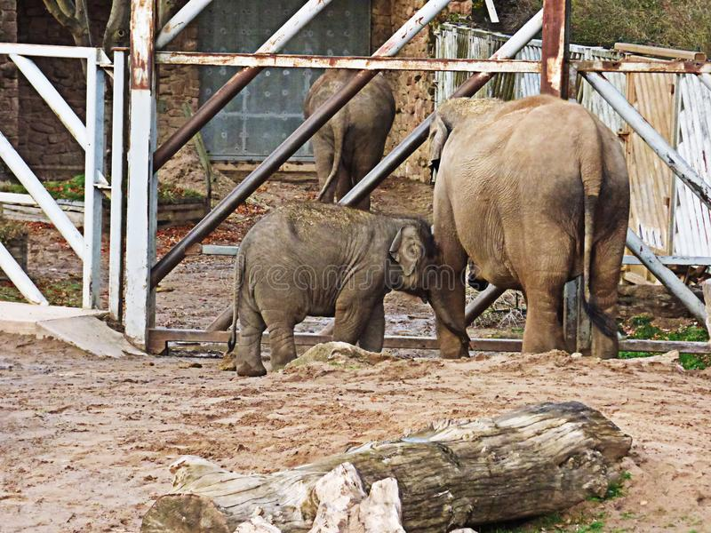 去它的母亲的婴孩大象 库存照片