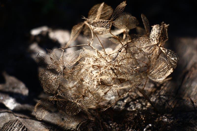 去年绣球花的花期 抽象 库存照片