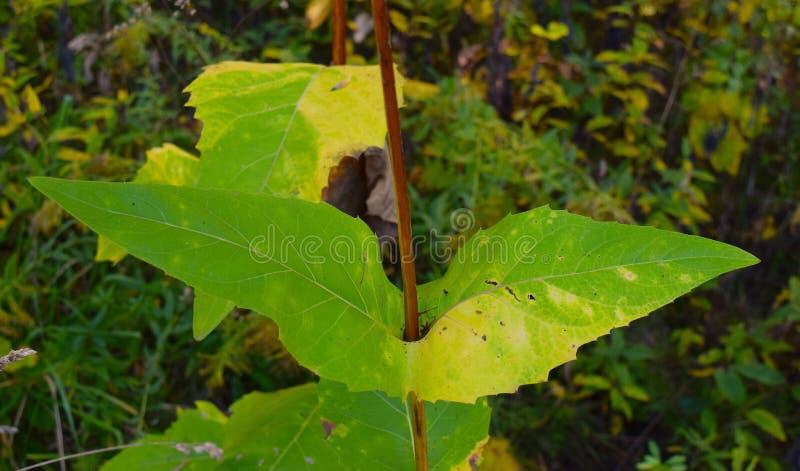 去横跨茎的大异常的绿色尖的叶子 图库摄影