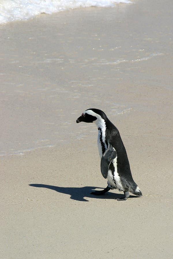 去的企鹅游泳 库存图片