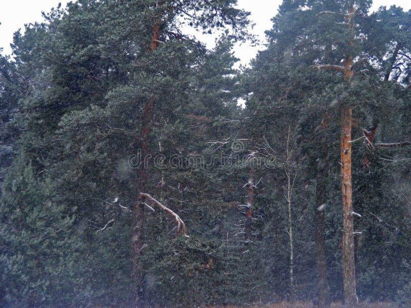 去的绿色杉木和冷杉森林在白俄罗斯 库存图片