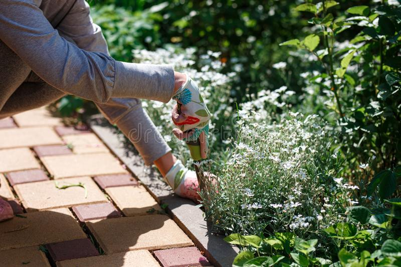去除杂草的花匠照片从土壤 库存图片