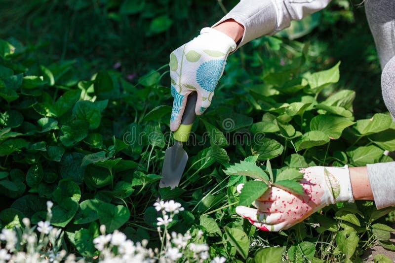 去除杂草的花匠照片从土壤 库存照片