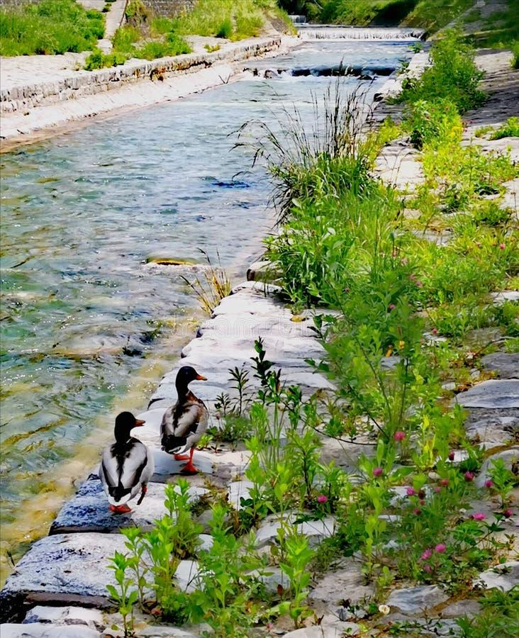 去2只的鸭子在岸的Veveyse这一个 免版税库存图片