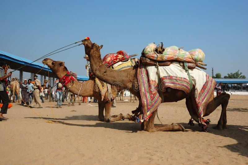 参与在竞争在牛节日, Pushkar,印度中的部族游牧人骆驼 库存照片