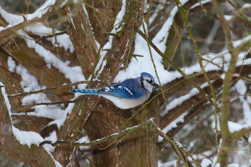参加在树的蓝色尖嘴鸟与雪 免版税库存图片