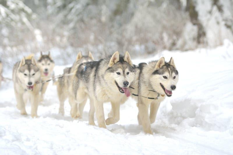 参加狗雪撬赛跑的比赛的狗画象  免版税库存图片