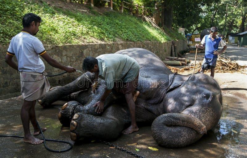 参加Esala Perahera的其中一头游行大象在康提接受一洗刷下来在斯里兰卡 免版税库存图片
