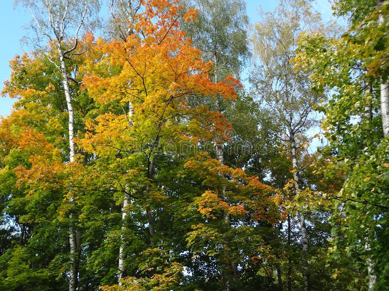 及早秋天 叶子起动转动黄色和红色在树 免版税库存图片