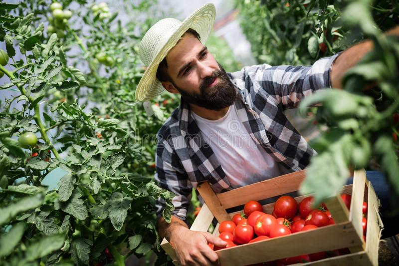 友好的农夫在工作自温室 免版税库存图片