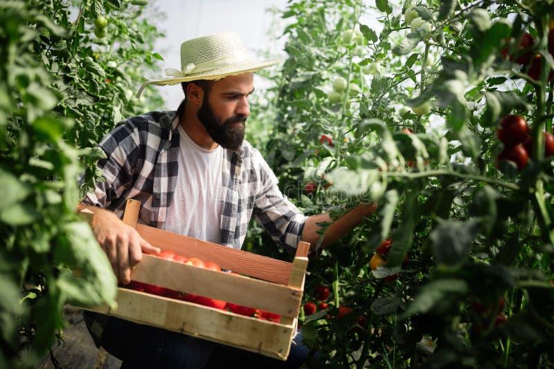 友好的农夫在工作自温室 免版税库存照片