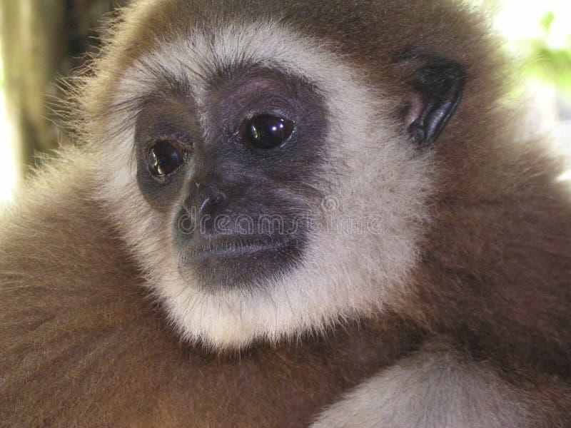 友好的长臂猿 库存照片