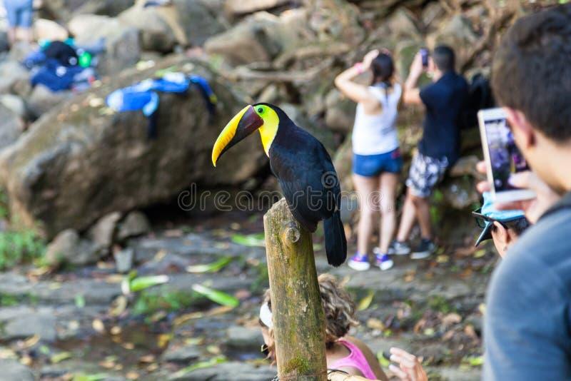 友好的Toucan在哥斯达黎加 库存图片