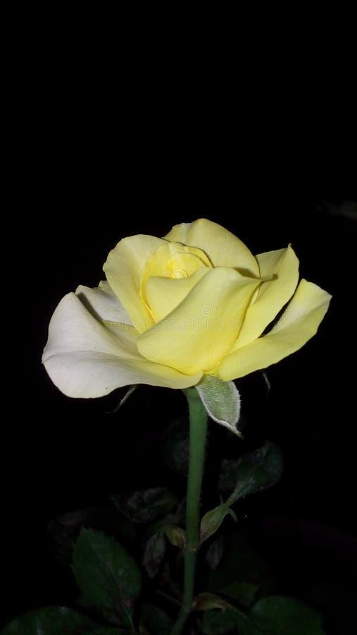 友谊的黄色玫瑰色标志 图库摄影