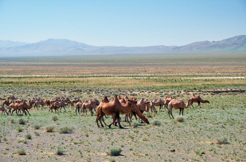 双峰驼在蒙古石沙漠在蒙古 库存照片