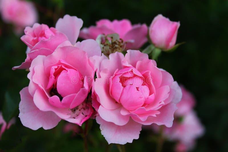 Download 双玫瑰 库存图片. 图片 包括有 玫瑰, 视图, 庭院, 夏天, 孪生, beauvoir, 详细资料, 宏指令 - 72360161