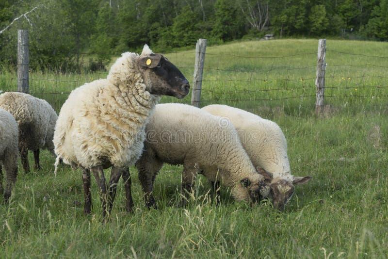 双羊羔从他们的诞生在春天增长 免版税库存照片