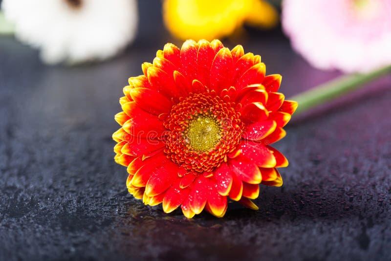 双色的红色黄色大丁草雏菊,低调在黑色 免版税图库摄影