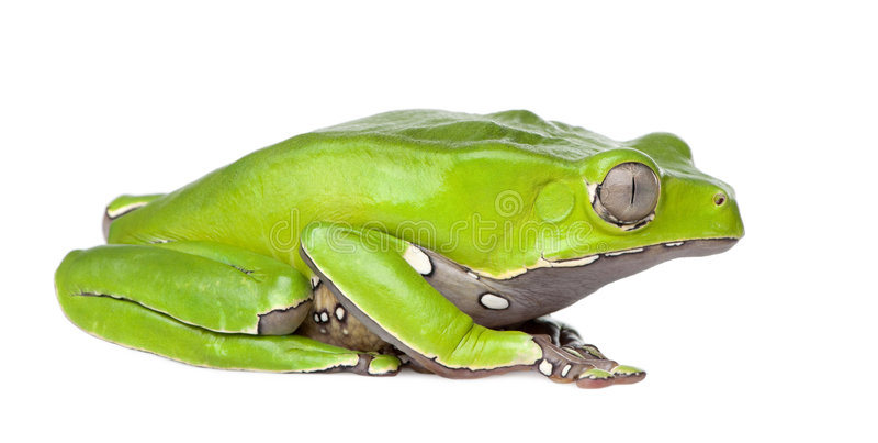 双色的青蛙巨型叶子phyllomedusa 库存照片