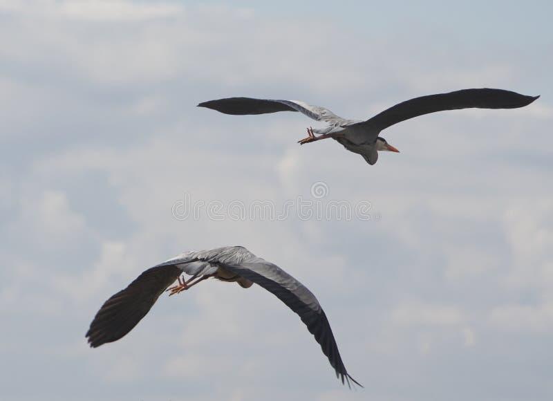 双苍鹭离开 免版税库存图片