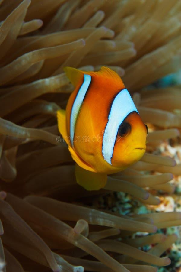 双锯鱼bicinctus小丑鱼红海 库存图片