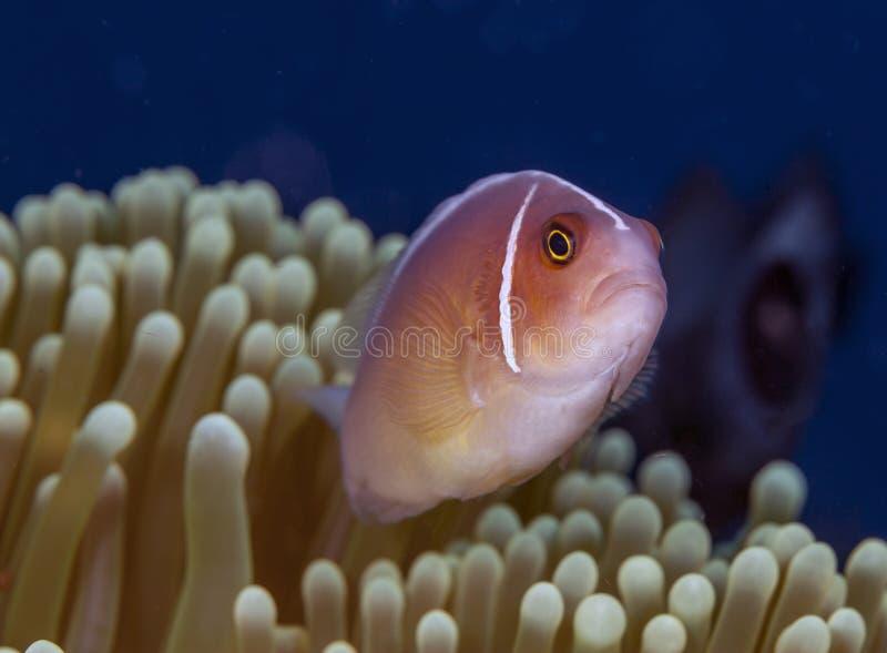 双锯鱼perideraion,桃红色臭鼬clownfish,桃红色anemonefish, 库存图片