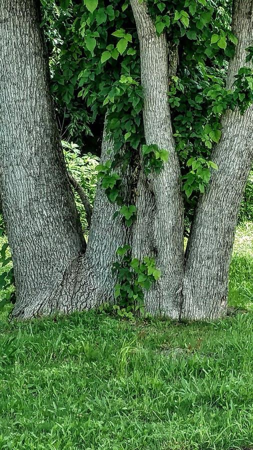 双高峰树 库存照片