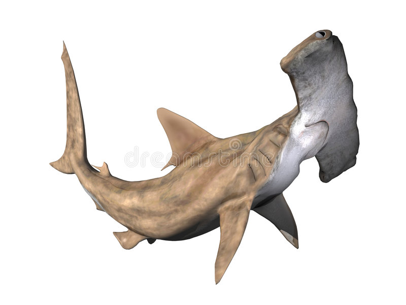 双髻鲨 免版税库存照片