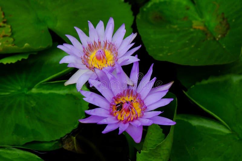 双紫色莲花开花 库存照片
