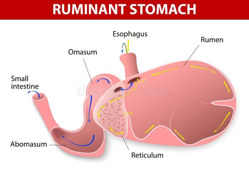 反刍动物胃 库存例证