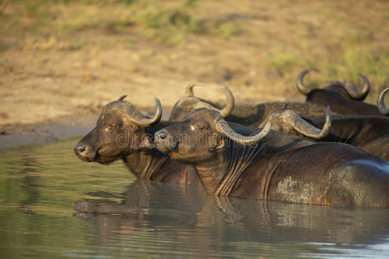 反刍水牛的牧群  免版税图库摄影