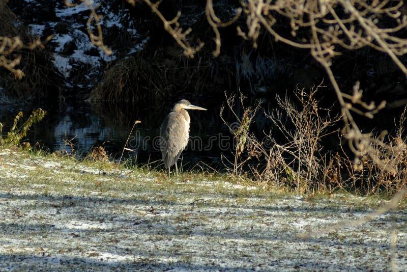 反对一个冷漠的背景观看的湖的伟大蓝色的苍鹭的巢 免版税库存图片