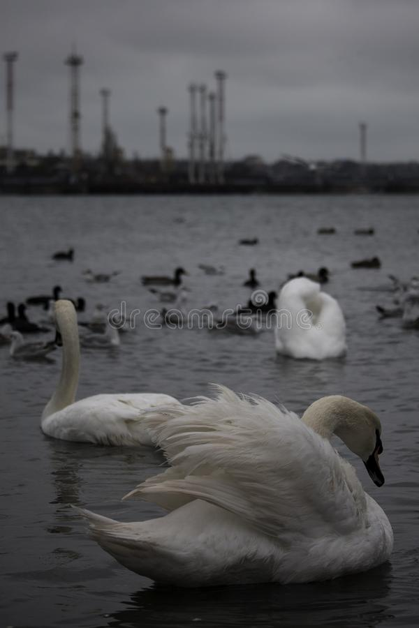 反对一些工厂厂房的天鹅在Chornomorsk附近运送,乌克兰 图库摄影