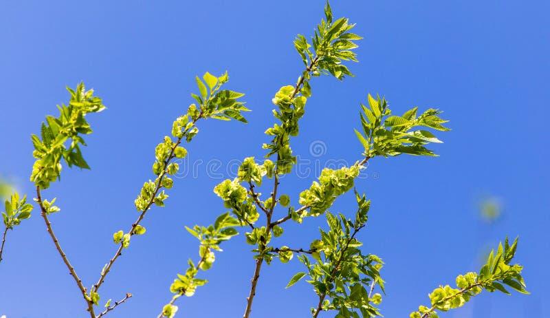 反对一天空蔚蓝的小绿色叶子在春天 库存照片