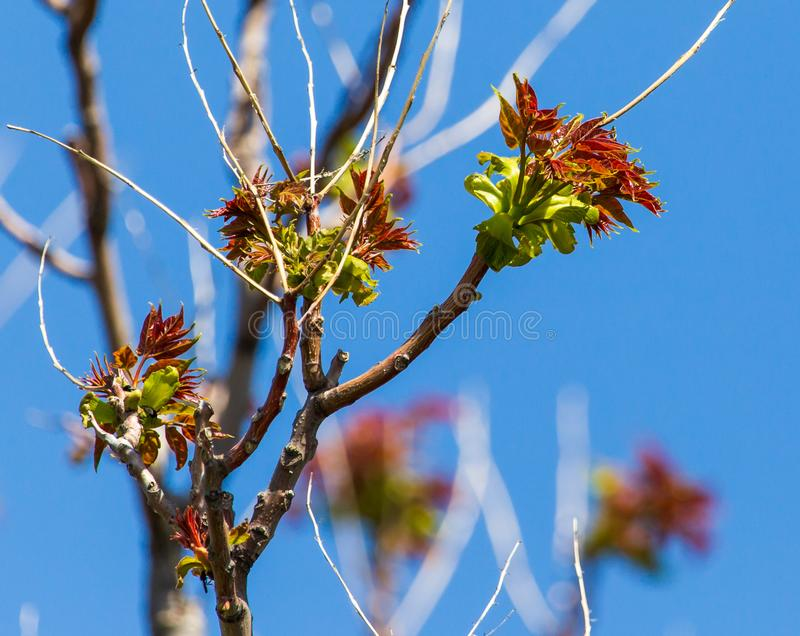 反对一天空蔚蓝的小绿色叶子在春天 图库摄影